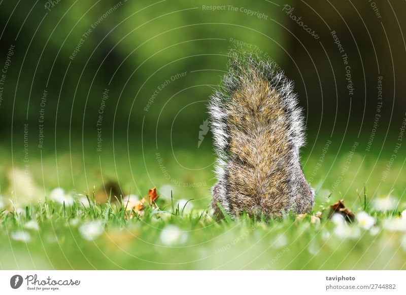 grey squirrel tail in the grass Beautiful Nature Animal Grass Park Forest Fur coat Pet Wild animal Sit Small Funny Natural Cute Brown Gray Green Loneliness