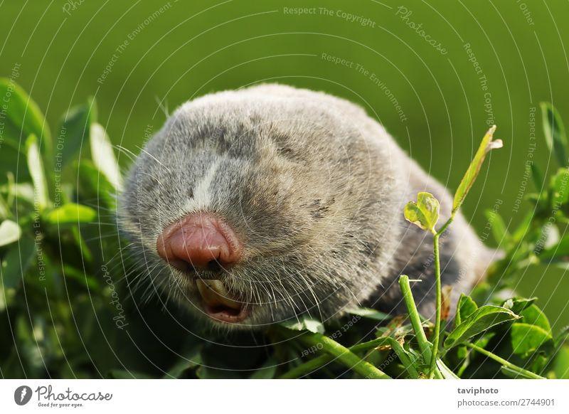 portrait of a lesser mole rat Face Teeth Environment Animal Fur coat Small Natural Cute Wild Brown Gray Dangerous head wildlife bling eyes scarce rare European