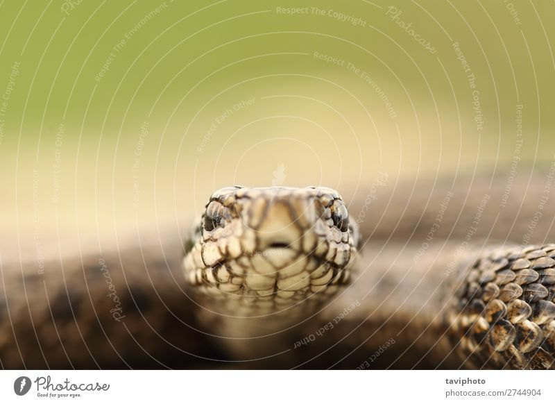portrait of hungarian meadow viper Beautiful Nature Animal Meadow Snake Wild Fear Dangerous Viper adder head Living thing vipera colorful ursinii poisonous
