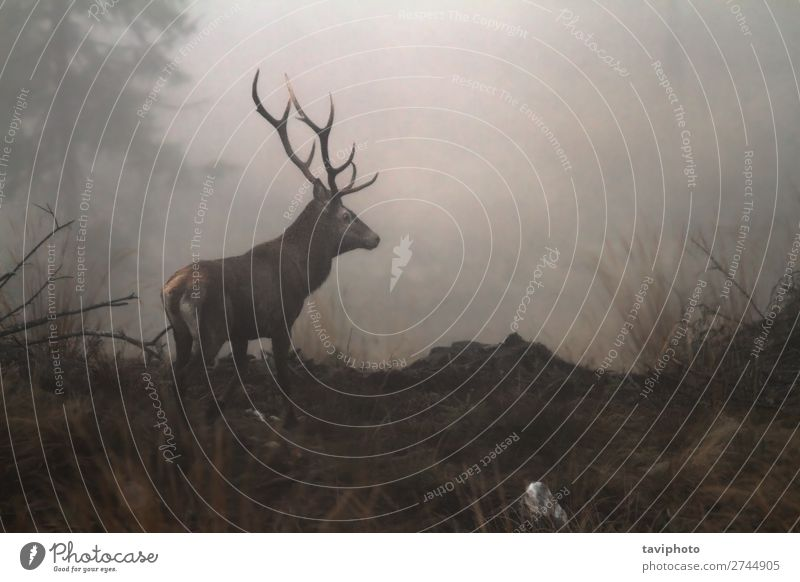 red deer stag in the wilderness of Carpathian mountains Beautiful Playing Hunting Mountain Man Adults Environment Nature Animal Autumn Fog Meadow Forest Dark