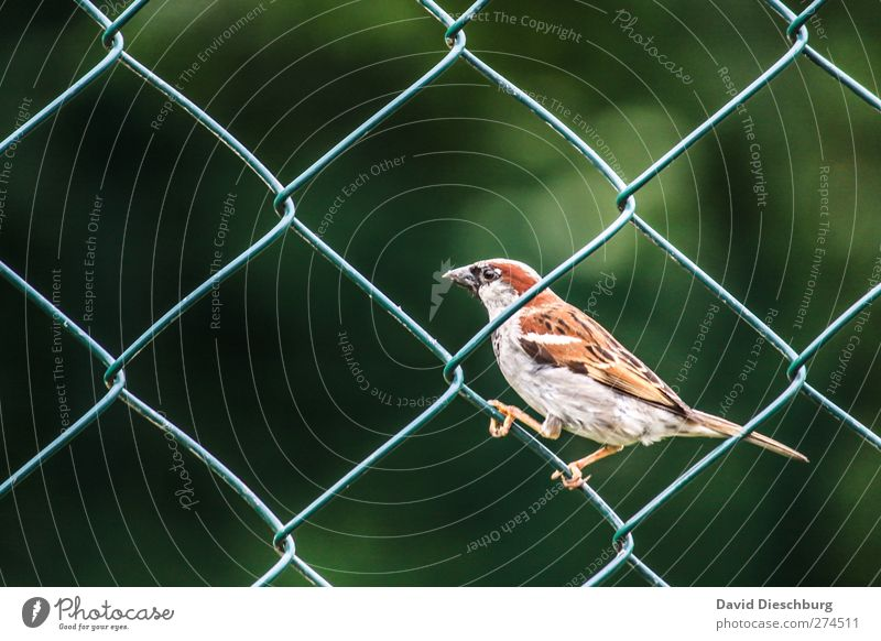 Zaungast II Nature Animal Wild animal Animal face Wing Claw 1 Brown Gray Green Black Sparrow Bird To hold on Wire netting fence Mesh grid Beak Feather Sit