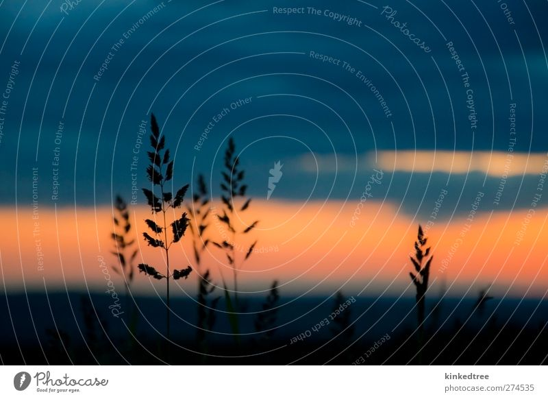 grass silhoutte at sunset sky Sky Nature Blue Beautiful Plant Red Colour Clouds Calm Black Environment Landscape Yellow Grass Freedom Brown