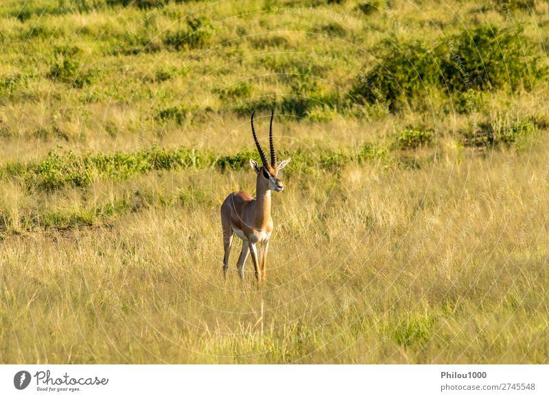 Antelope seen in profile in the savannah Beautiful Safari Woman Adults Man Nature Animal Park Natural Wild Samburu Africa african fauna Gazelle head Herbivore