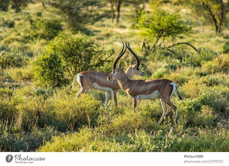 Crossing of two antelopes in the savannah Beautiful Safari Woman Adults Man Nature Animal Park Natural Wild Samburu Africa african Antelope fauna Gazelle head