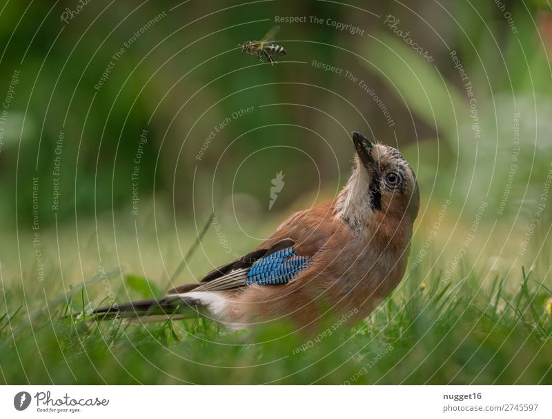 Jay and bee Environment Nature Plant Animal Sunlight Spring Summer Autumn Beautiful weather Grass Bushes Garden Park Meadow Forest Wild animal Bird Bee