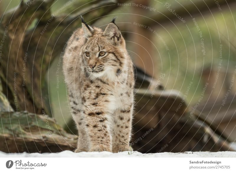 A young lynx is attentively in the forest Nature Animal Wild animal Zoo 1 Emotions Happy Self-confident adorable autumn Bavaria bavarian beautiful big cats