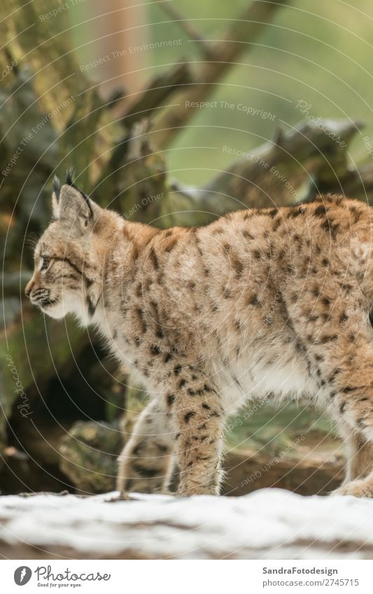 A young lynx is attentively in the forest Nature Animal Wild animal Zoo 1 Emotions Joie de vivre (Vitality) adorable autumn Bavaria bavarian beautiful big cats
