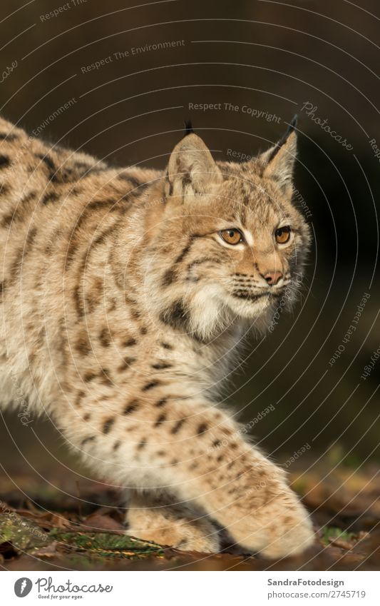 A young lynx is attentively in the forest Nature Animal Wild animal Zoo 1 Contentment Joie de vivre (Vitality) adorable autumn Bavaria bavarian beautiful