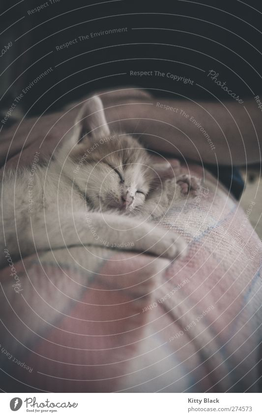 cuddly cat Pet Cat 1 Animal Baby animal Lie Sleep Small Pink White Contentment Trust Fatigue Subdued colour Interior shot Copy Space bottom Day Animal portrait