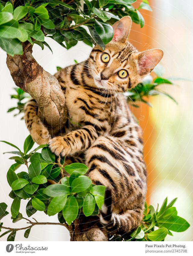 A Bengal Kitten in a tree Plant Tree Leaf Foliage plant Animal Cat Animal face Pelt Claw Paw 1 Baby animal Hang Sit Yellow Gold Green Orange Bonsar Colour photo
