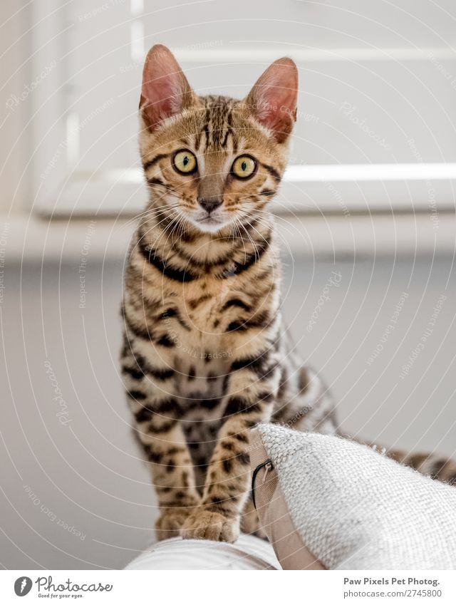 Bengal kitten sitting on a sofa arm Living or residing Flat (apartment) House (Residential Structure) Dream house Interior design Sofa Armchair Chair Room