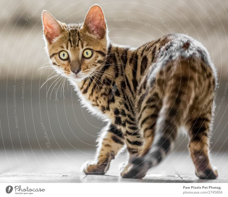 Bengal kitten looking at the camera Animal Pet Cat Animal face Pelt Paw 1 Baby animal Looking Stand Beautiful Uniqueness Cuddly Curiosity Cute Brown Yellow