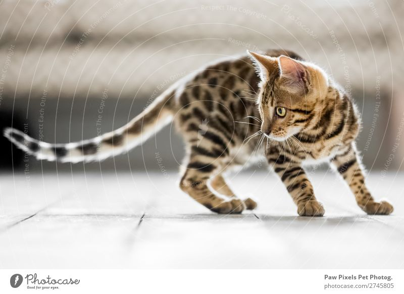 Bengal kitten with a long tail hunting Animal Pet Cat Animal face Pelt Claw Paw 1 Baby animal Hunting Stand Beautiful Uniqueness Brown Yellow Orange White Smart