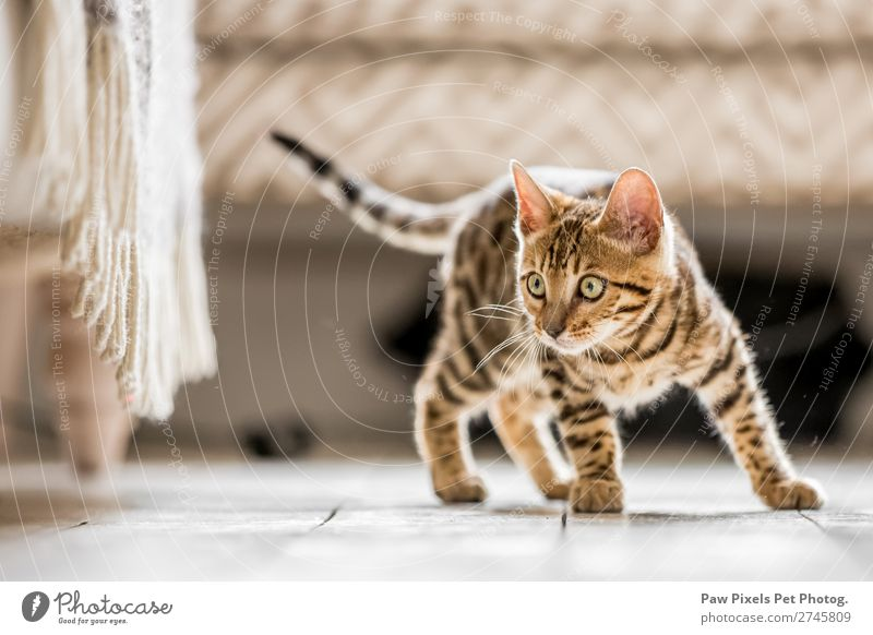 A Bengal Kitten looking under a sofa Cat Beautiful White Animal Baby animal Eyes Small Gray Cute Pet Mammal Delightful Isolated (Position) Striped