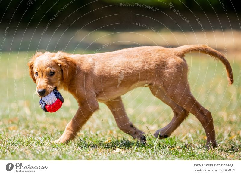 dog carrying a ball Spring Summer Plant Tree Flower Grass Bushes Garden Park Meadow Field Animal Dog Animal face Pelt Paw 1 Baby animal Walking Running Carrying