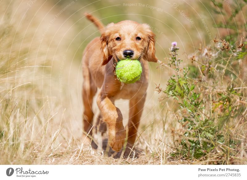 dog carrying a ball. Golden Retriever Puppy. Animal Dog Animal face Pelt Paw 1 Baby animal Catch Smiling Walking Running Carrying Happiness Yellow Green Orange