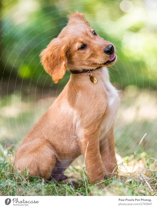 cute puppy dog sitting in rough grass Spring Summer Autumn Beautiful weather Grass Animal Pet Dog Animal face Pelt 1 Baby animal Think Looking Sit Dream Simple