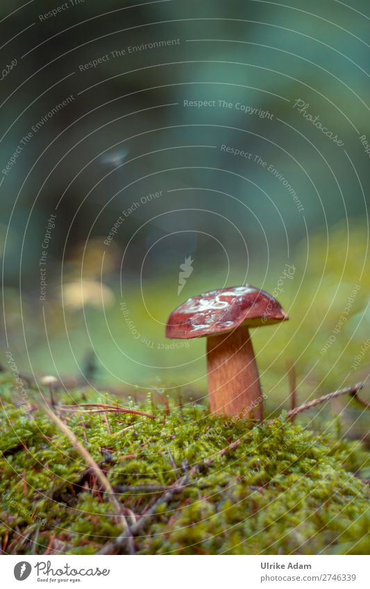 Boletus - Nature Plant Autumn Moss Mushroom Fresh Wild Soft Brown Green Growth Forest Woodground Forest plant forest mushroom Colour photo Exterior shot