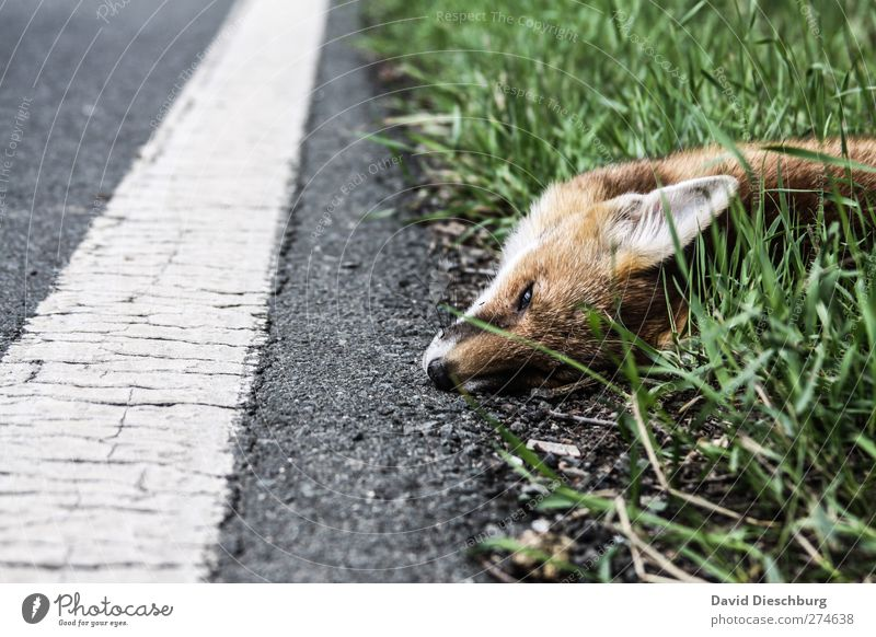 Hopefully it went fast... Traffic infrastructure Street Lanes & trails Animal Wild animal Dead animal Gray Green White Red fox Death Accident Pelt Ear Snout