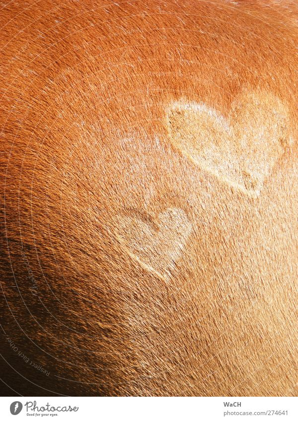 Beautiful Animal Love Emotions Happy Brown Background picture Exceptional Heart Romance Horse Pelt Sign Infatuation Section of image Loyalty