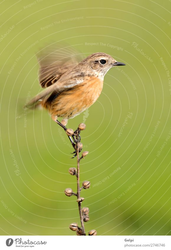 Beautiful wild bird perched on a branch Life Woman Adults Environment Nature Animal Bird Small Natural Wild Brown White wildlife common background passerine