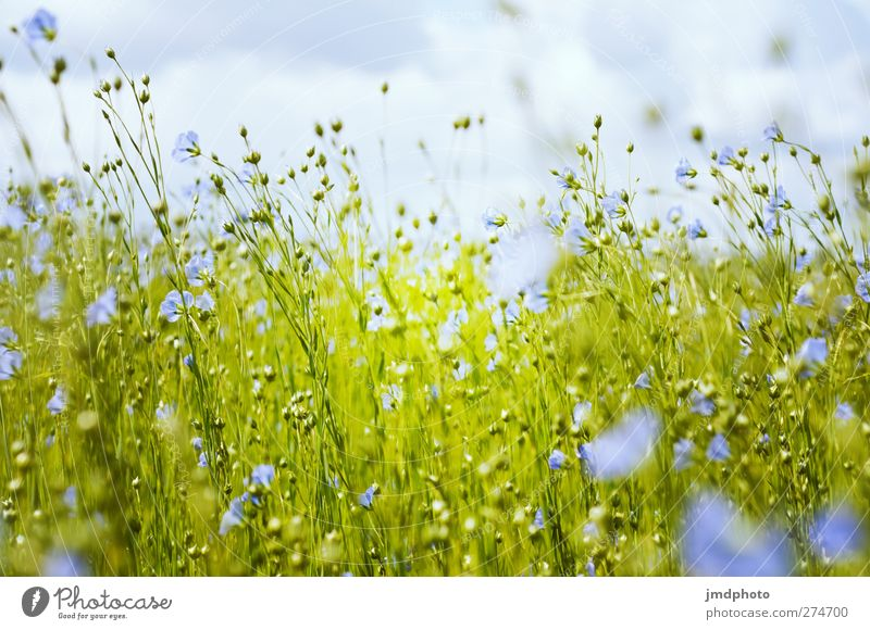 Flax - ig Environment Nature Plant Horizon Spring Summer Flower Leaf Blossom Foliage plant Agricultural crop Field Blossoming Fragrance Illuminate Faded Growth