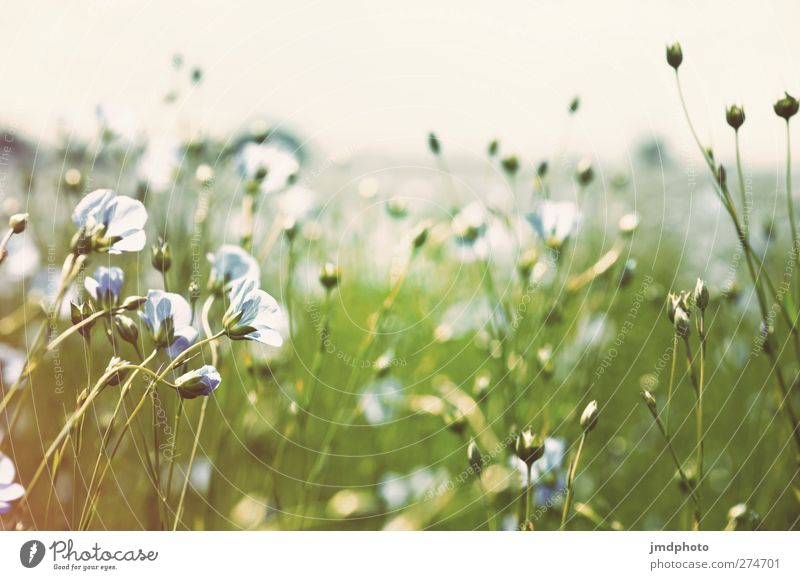 Flax - ig Environment Nature Plant Sky Horizon Spring Summer Flower Grass Leaf Blossom Foliage plant Agricultural crop Field Blossoming Fragrance Faded Growth