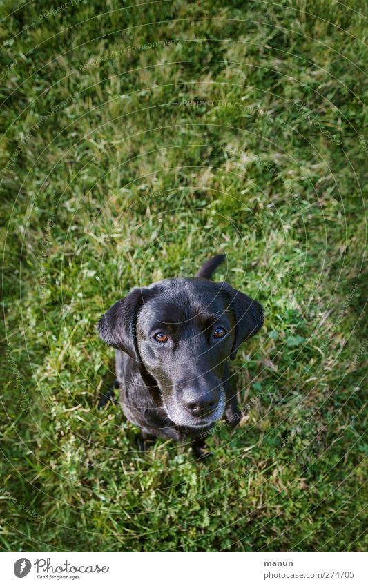 My Heart Dog Grass Meadow Animal Labrador 1 Looking Sit Friendliness Natural Curiosity Trust Friendship Love of animals Watchfulness Honey Loyalty Colour photo