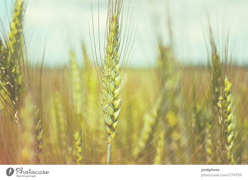 rye Environment Nature Plant Summer Agricultural crop Rye Rye field Rye ear Growth Grain Grain field Colour photo Subdued colour Exterior shot Close-up Deserted