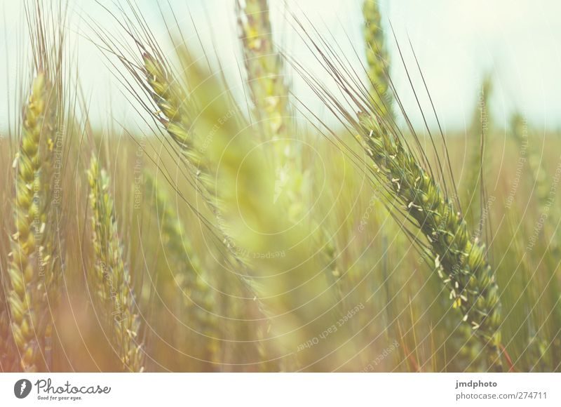 Nature Plant Yellow Environment Brown Growth Grain Mature Grain field Agricultural crop Rye Field Blur Rye field Rye ear