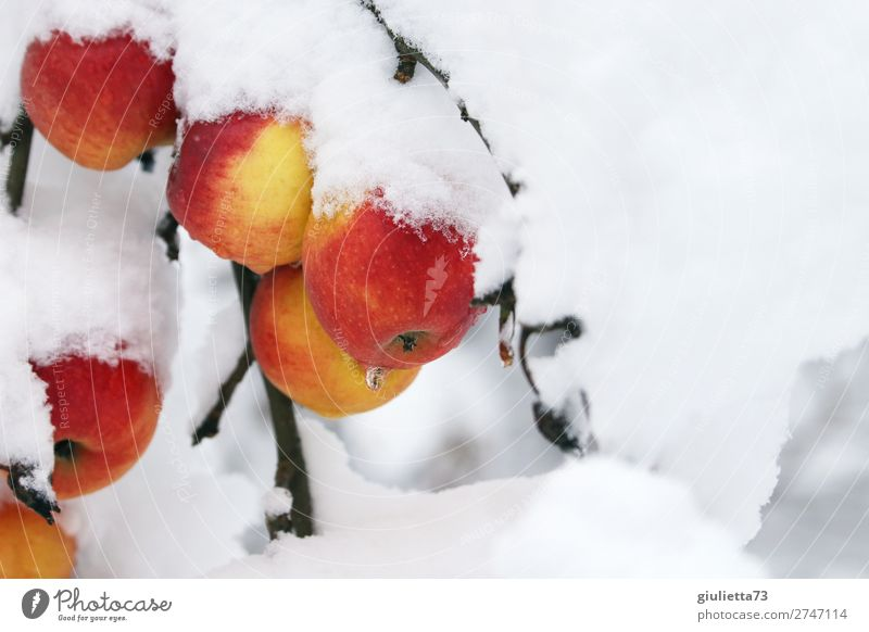 Winter apples covered with snow cover | Betthupferl Fruit Apple Environment Nature Ice Frost Snow Garden Fresh Healthy Cold Delicious Natural Beautiful Sweet