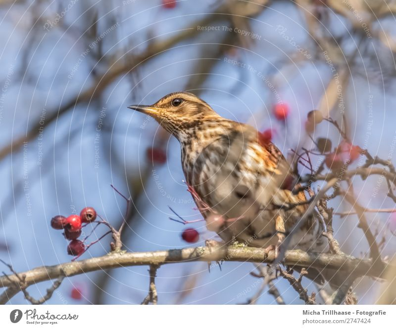 Juniper Thrush in a Berry Bush Nature Animal Sky Sunlight Beautiful weather Bushes Wild animal Bird Animal face Wing Claw Turdus Pilaris Throstle Beak Feather