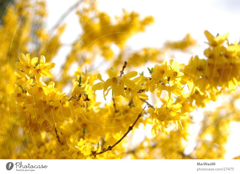 Sun Yellow Blossom Spring Bright Bushes Blossoming Friendliness Beautiful weather Depth of field Twig Nature Broom