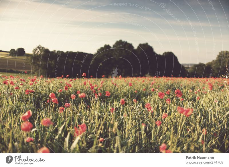 Summer? Environment Nature Landscape Plant Animal Sky Clouds Climate change Beautiful weather Warmth Poppy field Field Forest Breathe Blossoming To enjoy