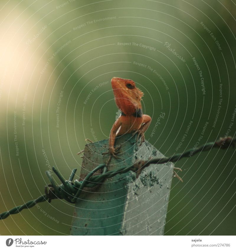 sunburn? Environment Nature Animal Wild animal Reptiles Saurians 1 Observe To hold on Looking Sit Wait Red Barbed wire Dyeing Colour photo Exterior shot