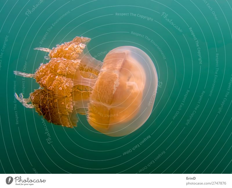 Close up orange golden jellyfish side angle green background. Design Joy Beautiful Vacation & Travel Tourism Adventure Environment Landscape Lake Jellyfish