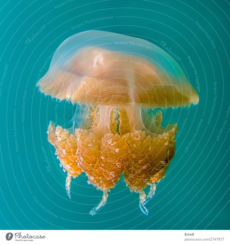 Close up detail golden jellyfish on blue turquoise background. Design Joy Beautiful Vacation & Travel Tourism Adventure Environment Landscape Lake Jellyfish