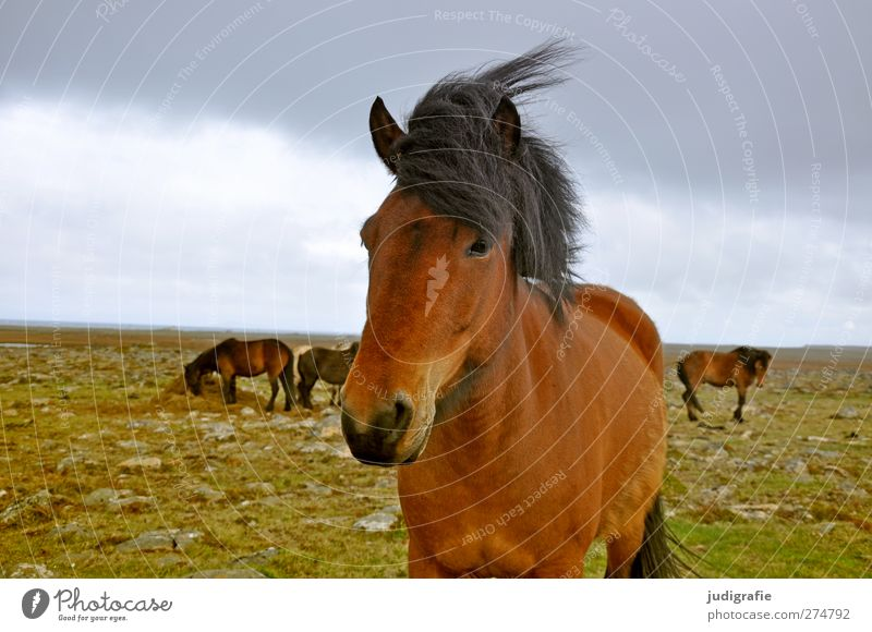 Iceland Environment Nature Landscape Earth Sky Clouds Wind Animal Farm animal Horse Iceland Pony 1 Group of animals Esthetic Friendliness Natural Curiosity