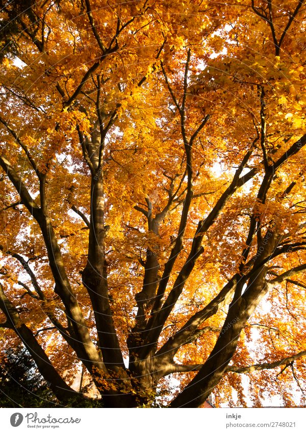 autumn Plant Autumn Tree Beech tree Copper beech Deciduous tree Autumn leaves Autumnal Autumnal colours Large Natural Brown Yellow Orange Earth colour