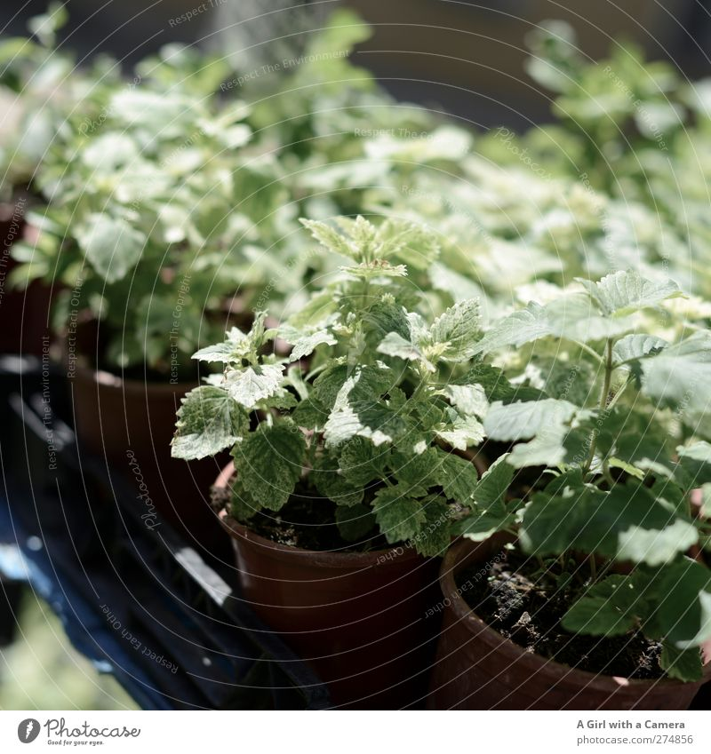 Green for sale Nature Plant Spring Summer Leaf Foliage plant Agricultural crop Pot plant Mint Garden Fresh Healthy Herbs and spices Markets Market stall