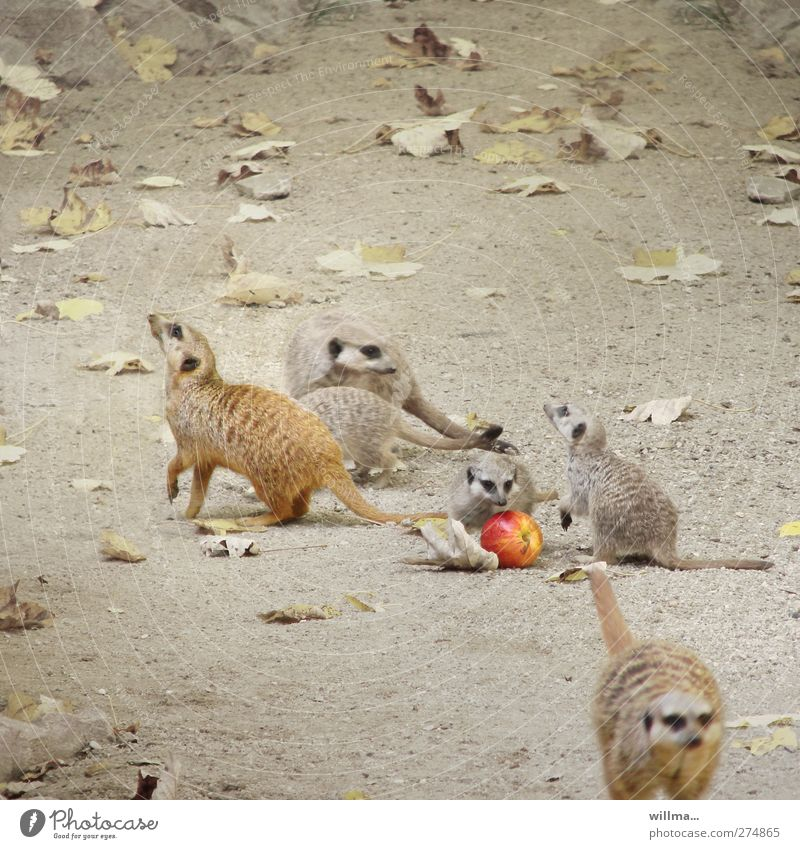 Animal Leaf Playing Movement Baby animal Earth Wild animal Group of animals Cute Apple Zoo Square To feed Social Meerkat Animal family