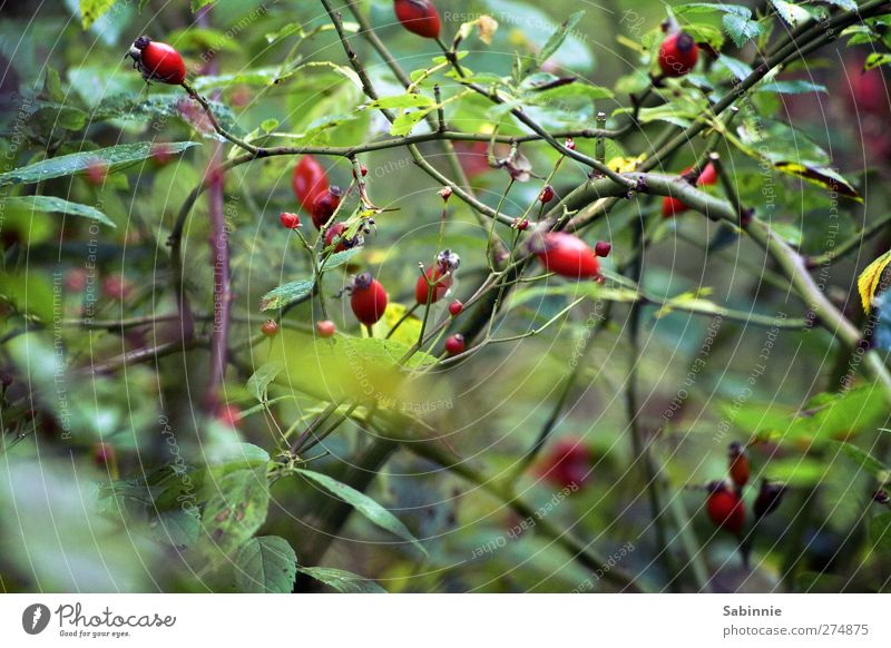 In the thicket Environment Nature Animal Plant Bushes Rose Leaf Foliage plant Wild plant Dog rose Rose hip Thorn Branch Bud Fruit Green Red Growth Faded