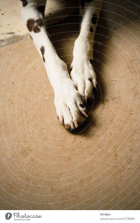 Dog Animal Warmth Legs Brown Lie Authentic Friendliness Serene Paw Love of animals Dappled Dalmatian
