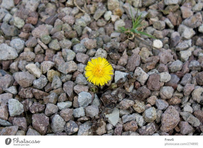 lone fighters Spring Plant Flower Grass Coltsfoot Stone Illuminate Growth Fresh Yellow Gray Green Spring fever Willpower Endurance Gravel Sparse