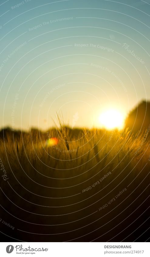 evening grain Grain Nature Landscape Earth Sky Sky only Sun Sunrise Sunset Sunlight Summer Beautiful weather Warmth Plant Bushes Agricultural crop Field
