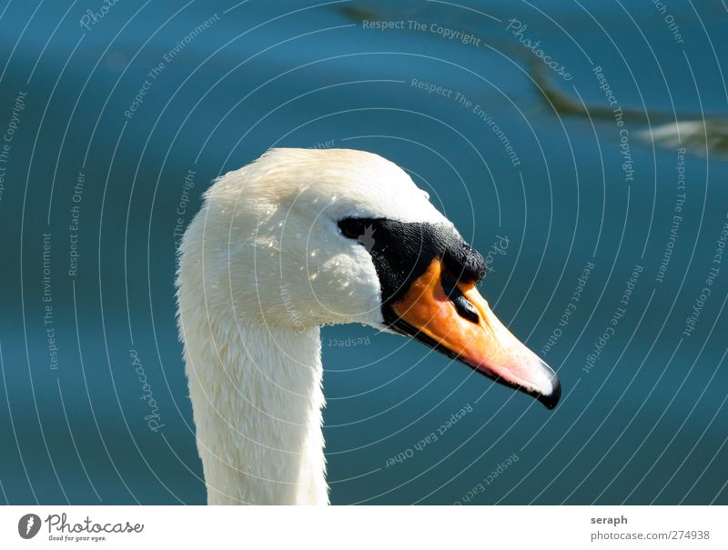 Swan Water Ocean Animal Lake Bird Waves Natural Wild Drops of water Feather Wing Observe Float in the water Duck Beak