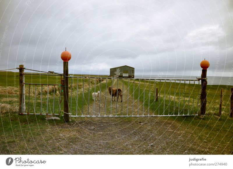 Iceland Nature Landscape Sky Clouds Climate House (Residential Structure) Hut Building Door Gate Fence Entrance Animal Farm animal Sheep Lamb 2 Animal family