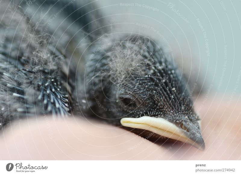 chick Environment Nature Animal Wild animal Bird 1 Baby animal Blue Gray Small Chick Head Beak Swallow Colour photo Exterior shot Deserted Copy Space bottom Day