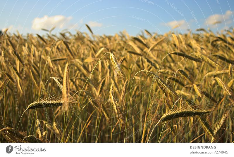 a bed in the cornfield... Nature Landscape Earth Sky Clouds Sun Sunlight Summer Beautiful weather Warmth Plant Bushes Agricultural crop Field Thin Free