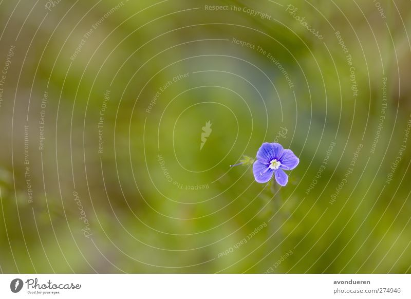 Nature Blue Plant Flower Forest Meadow Spring Blossom Growth Violet Blossoming Seasons Flower meadow Wild plant Bird's eye